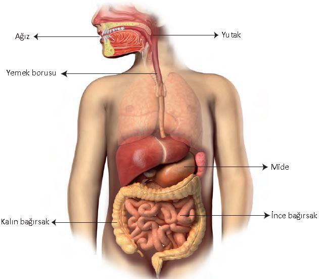 Sindirim Sistemi Yapı ve Organları 5. Sınıf