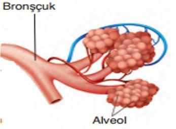 Bronşçuk ve Alveoller