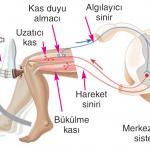 Duyu Organları ile Sinir Sistemi İlişkisi