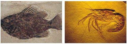 Fosil Örnekleri