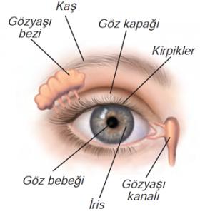 7 Sınıf Fen Bilimleri Duyu Organlarımız Göz Konu Anlatımı