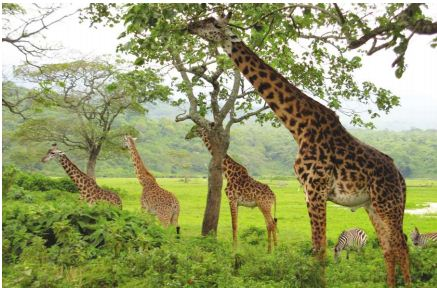 Lamarck - Zürafalar