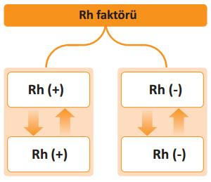 Rh Faktörü