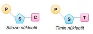 Sitozin ve Timin Nükleotidleri