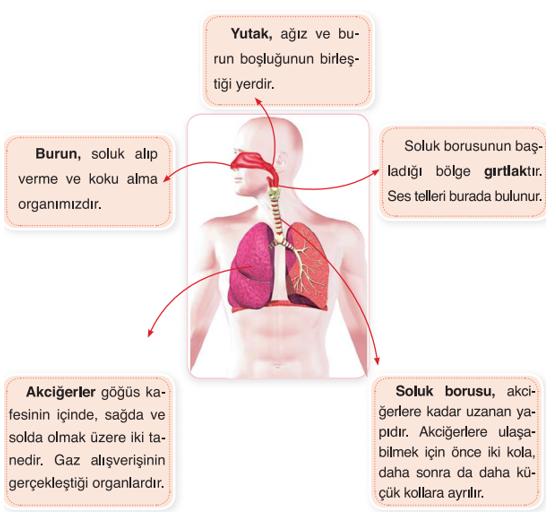 Soluk Alıp Vermede Görevli Yapı ve Organlar ile Görevleri