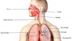 Solunum Sistemi Yapı ve Organları
