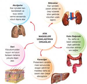 Farklı Boşaltım Şekilleri(Deri-Akciğerler-Karaciğer-Böbrek-Kalın Bağırsak)