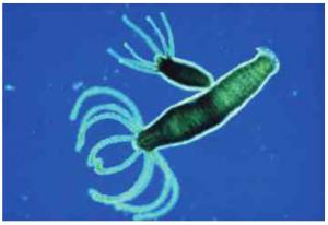 Tomurcuklanarak Çoğalan Canlılar - Hidra