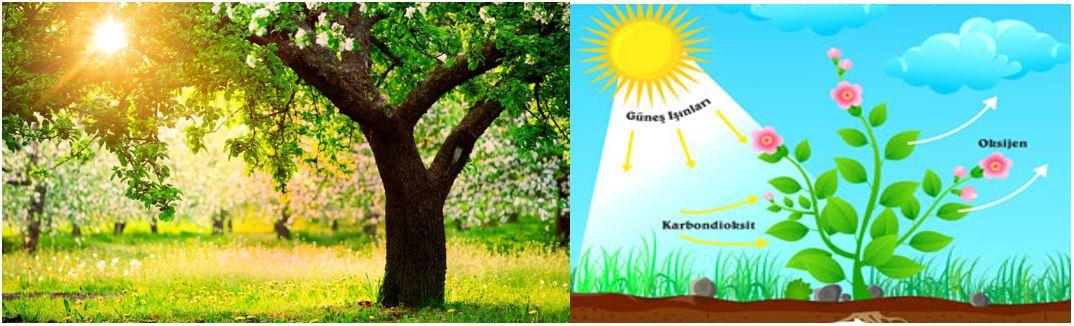 Bitkiler Işığın Soğurulması Sayesinde Fotosentez Yaparlar