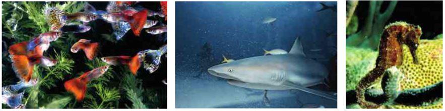 Doğurarak Çoğalan Balıklar