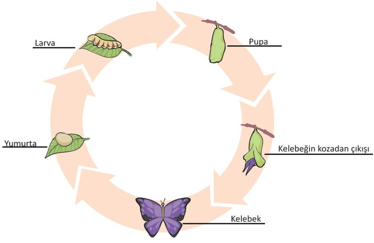 Kelebeklerde Başkalaşım